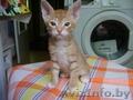 Продаются красивые котята Донского сфинкса