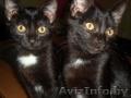 подарю двух котят